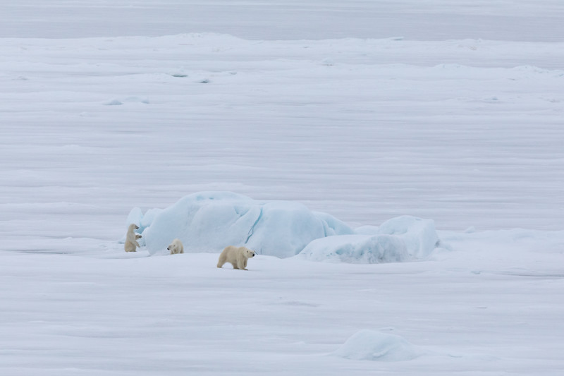 Mum had checked for seals while her cubs played around on an iceberg