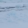 Polar bear hide and seek?