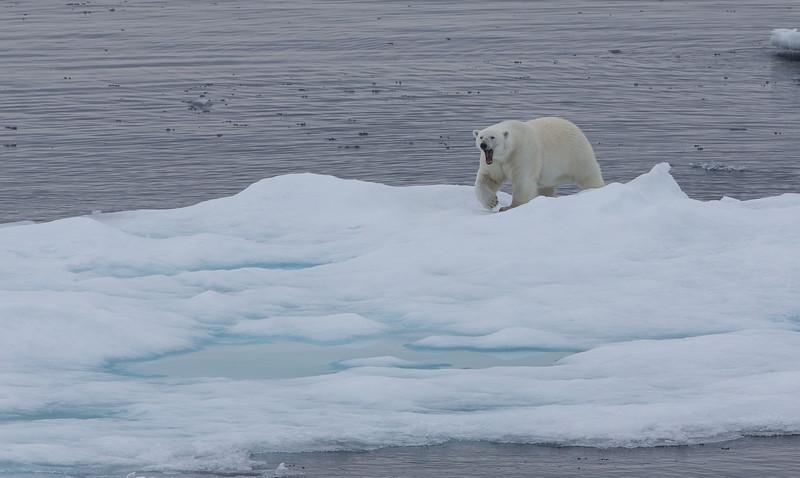 A large male polar bear on pack ice near Home Bay.