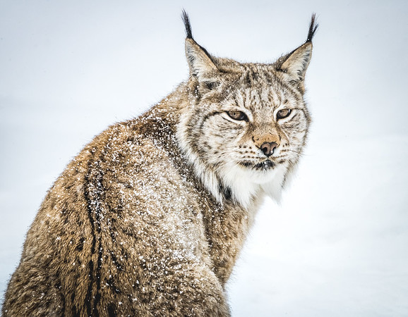 She's got the look! - Eurasian Lynx, Norway