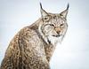 She's got the look! - Eurasian Lynx, Norway