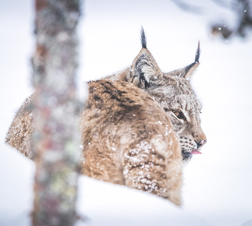 Stay away Hoo-man! - Eurasian Lynx, Norway