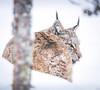 Stay away Hoo-man! - Eurasian Lynx, Norway