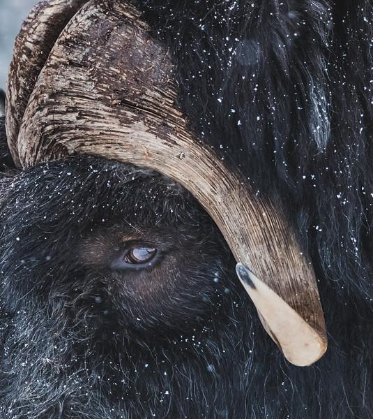 Horn of the Muskox - Polar Park, Norway
