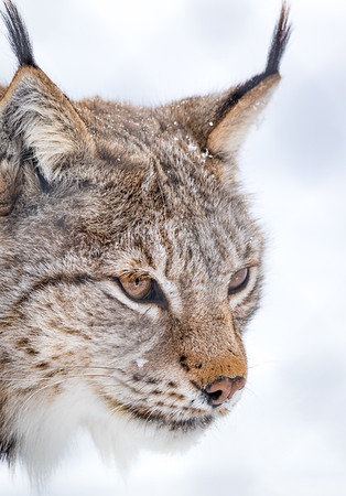 Eurasian lynx - Polar Park, Norway