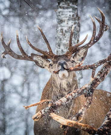 Snowy Stag - Red Deer, Norway