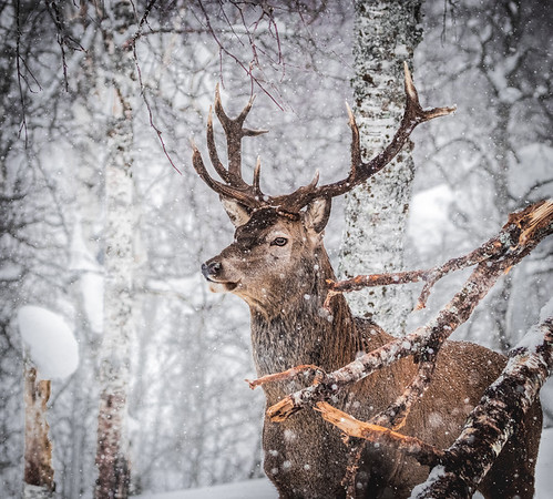 Portrait of a king! - Red Deer, Norway