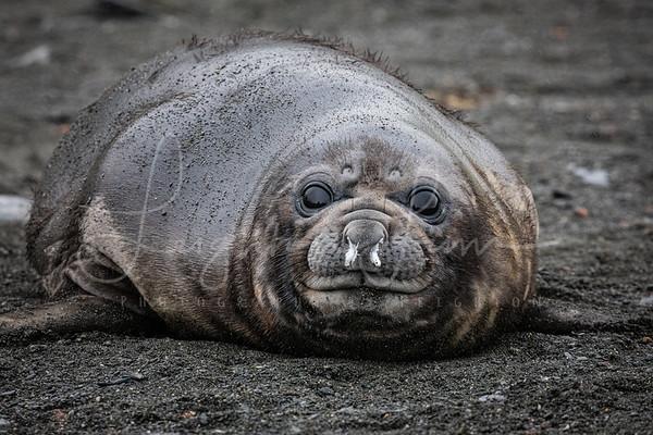 Cute Baby Elephant Seal