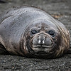 Cute Baby Elephant Seal