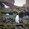 Lone King Penguin