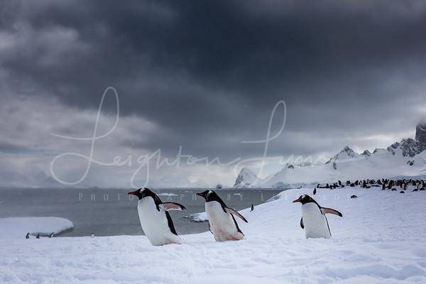 Gentoo Penguins in Cuvierville Island