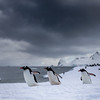 Gentoo Penguins in Cuvierville Island