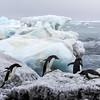 Antartica Adeli Penguins