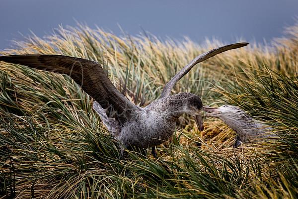 Giant Petrel