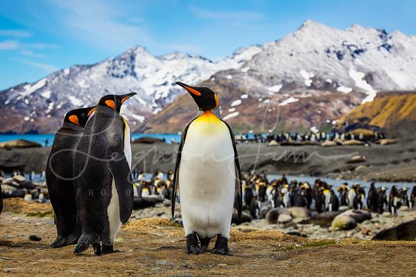 King Penguins Trio