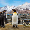 King Penguins Trio