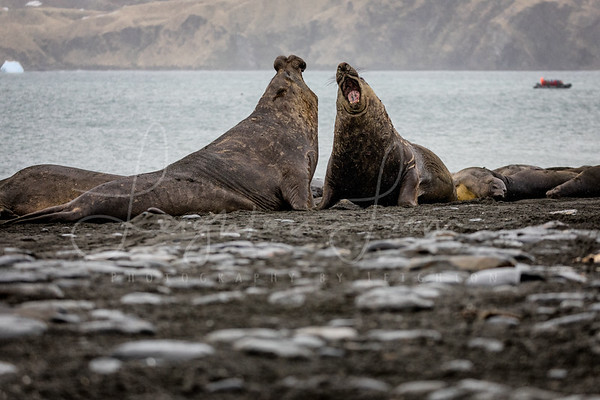 Elephhant Seal Stand Off