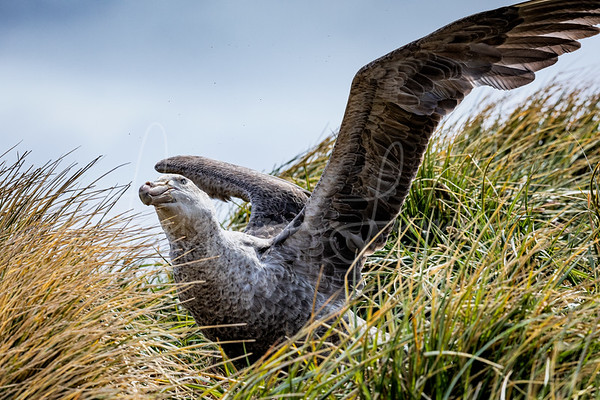 Giant Petrel Nest