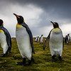 Salisberry Plains King Penguin Colonny