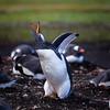 Falklands Gentoo