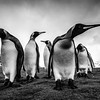 BNW King Penguins