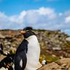 Rock Hopper Falklands