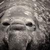 BNW Elephant portrait