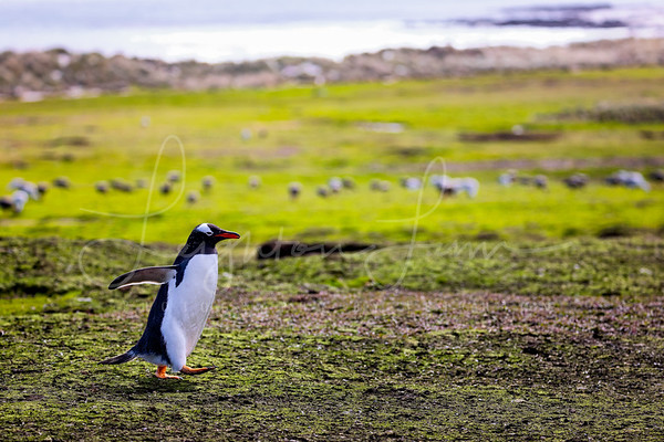 March of the Gentoo