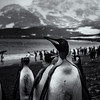 BNW King Penguins 2