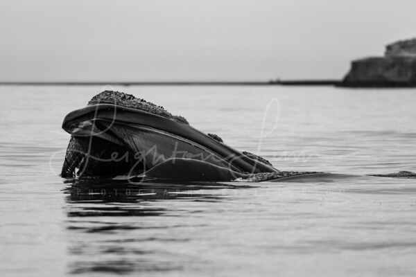Right Whale topside 2