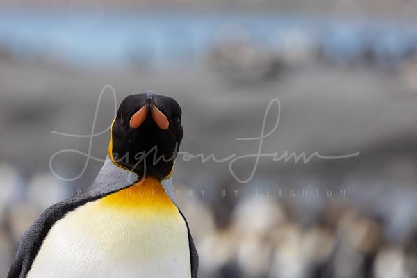 King Penguin head shots-1