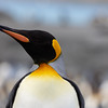 King Penguin head shots-2