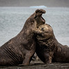 Elephant Seal  Battle