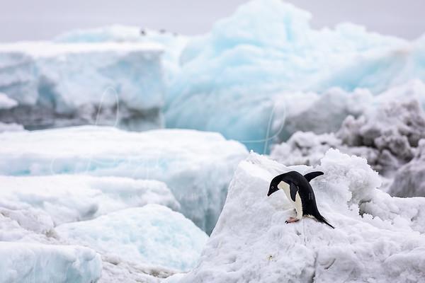Adeli on the Ice