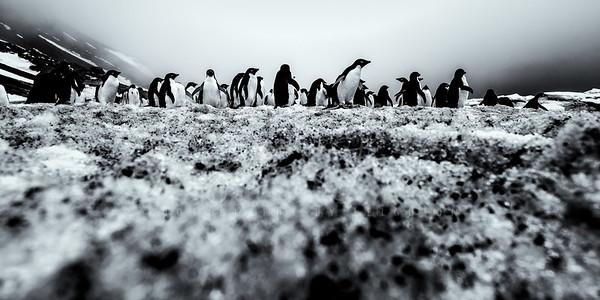 Adeli Penguin Colony