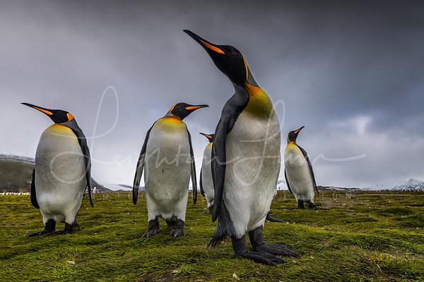 King Penguins of Salisberry Plains