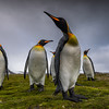 King Penguins of Salisberry Plains