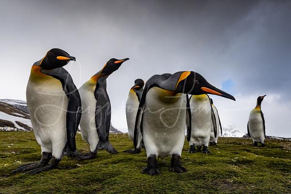King Penguins of Salisberry Plains 2