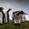 King Penguins of Salisberry Plains 2