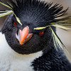 Rock Hopper Portrait