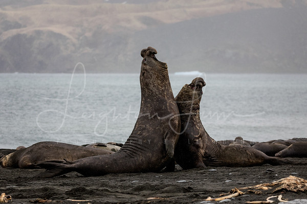 Elephannt Seal Square Off