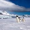 Gentoo Antartica
