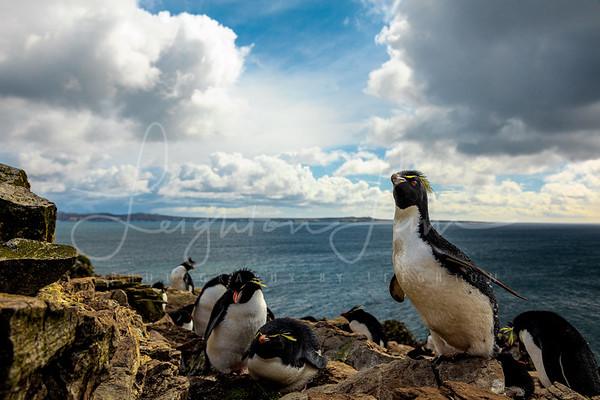 Rock Hopper Penguins
