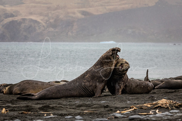 Elephant Seal Fight
