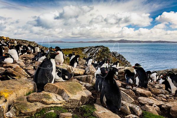 Falkland Rock Hopper