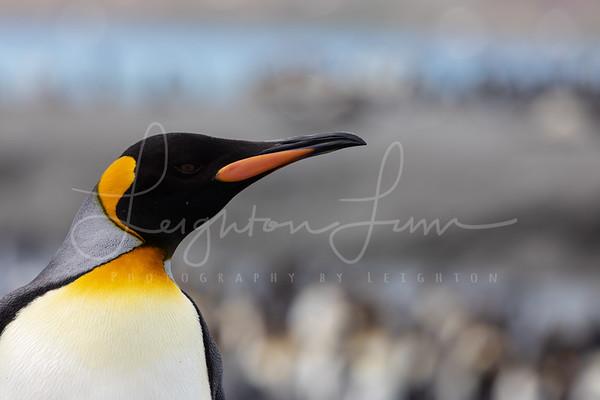 King Penguin head shots-3