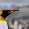 King Penguin head shots-3
