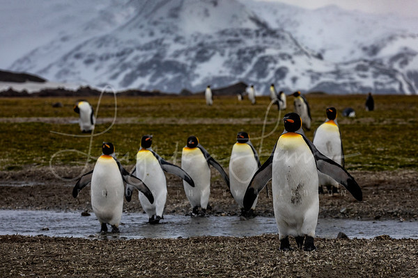 King Penguins in Salisberry Plains 2