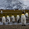 King Penguins in Salisberry Plains 2