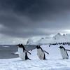Gentoo Penguins in Cuvierville Island 1x2